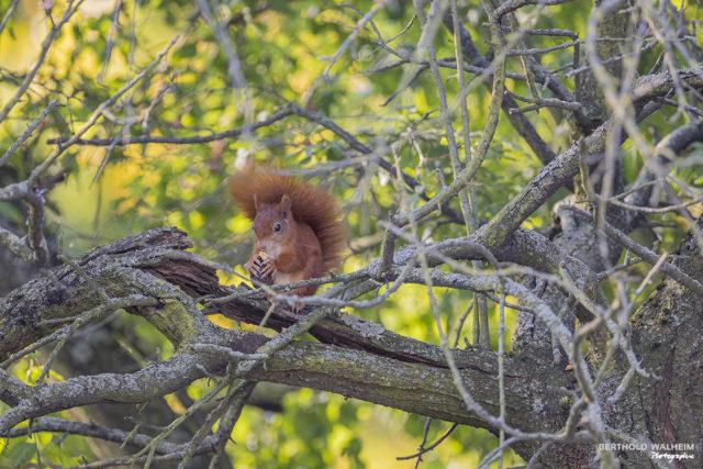 Heimisches Eichhörnchen