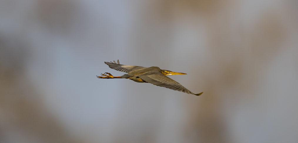 Purpurreiher im Flug
