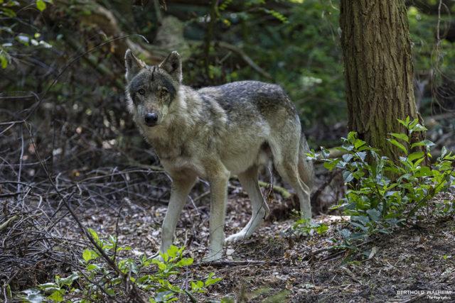 Der Wolf!