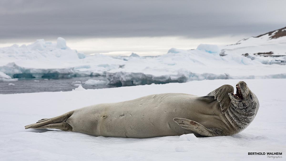 Antarktis 2018 – Krabbenfresserrobbe
