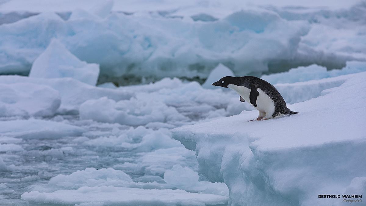 Antarktis 2018 – Adélinepinguin