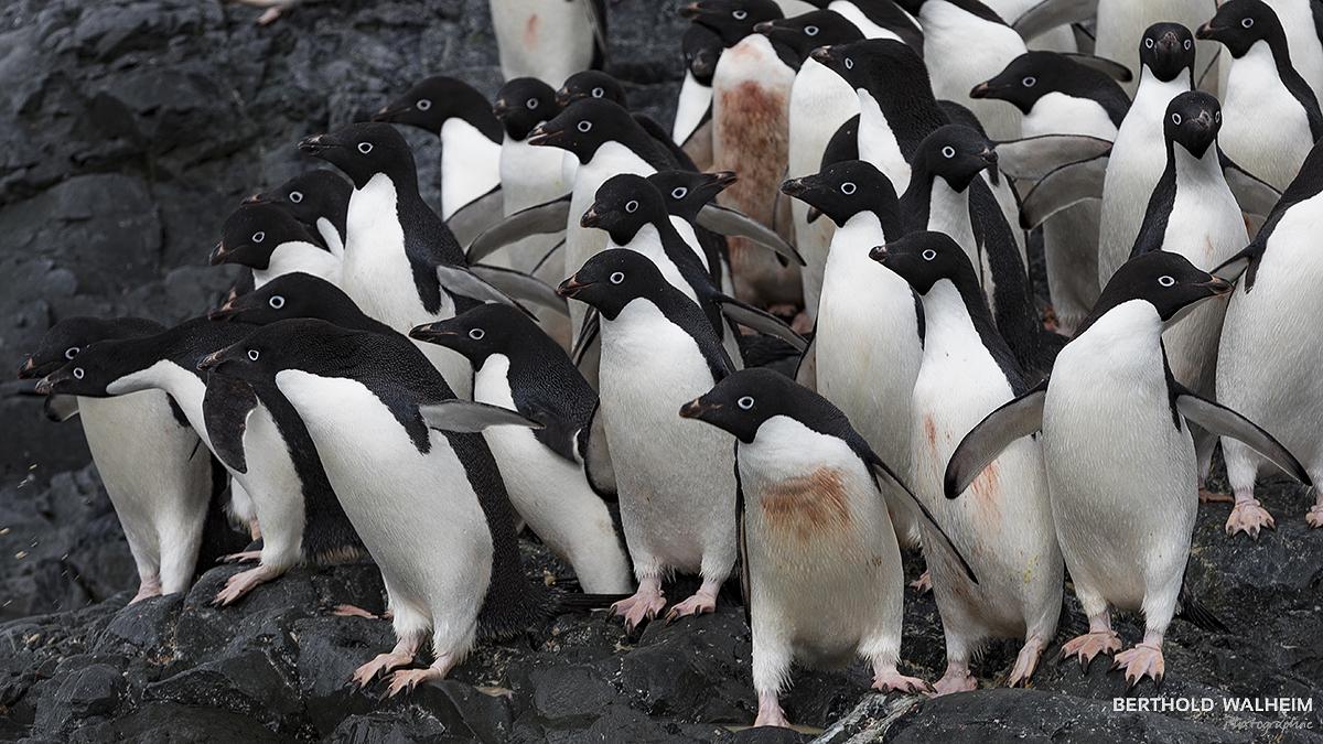 Adèlinepinguine, Antarktis