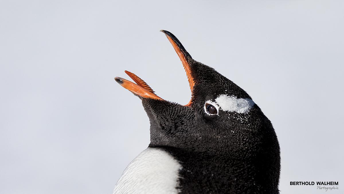 Antarktis 2018 – Eselspinguin