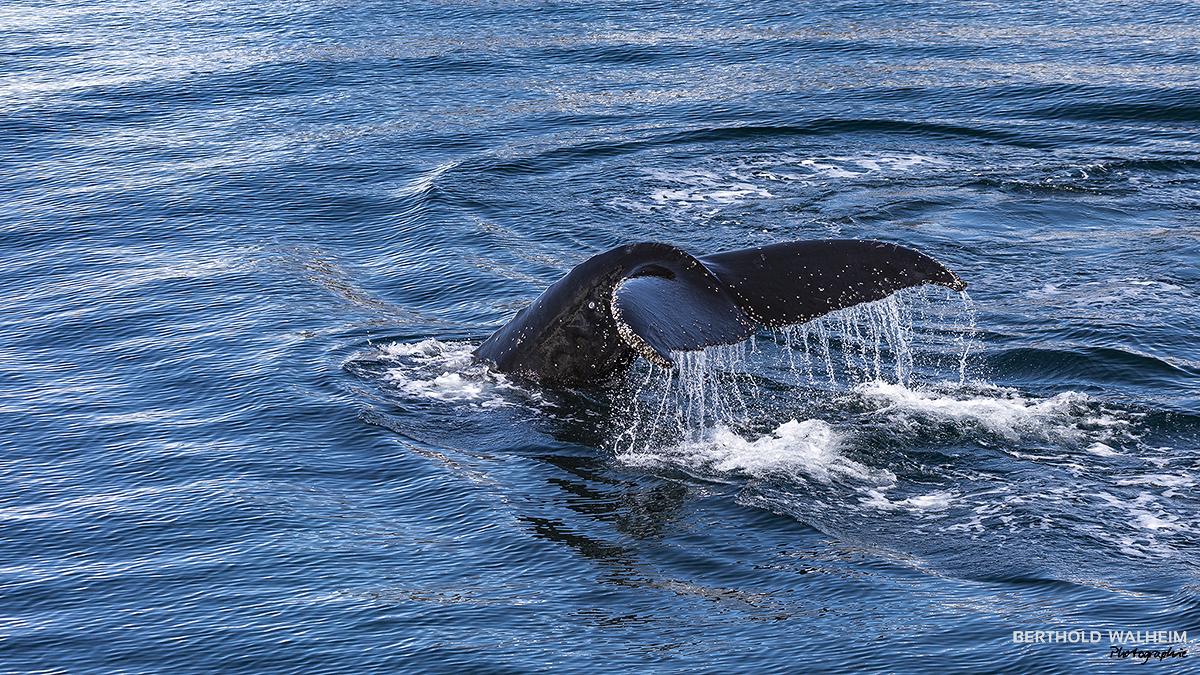Abtauchen eines Buckelwales