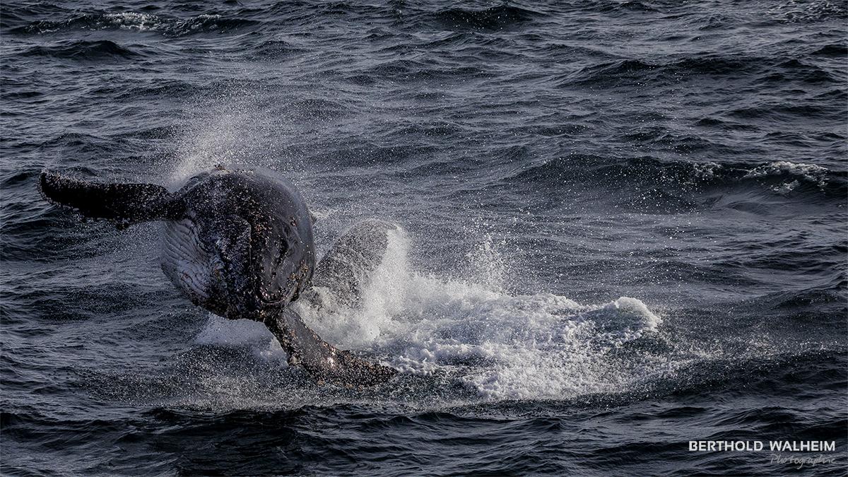 Antarktis 2018 – springender Buckelwal (17m lang / 42 Tonnen schwer)
