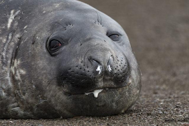 Männlicher Seeelefant (Antarktis) bis zu 5Tonnen schwer