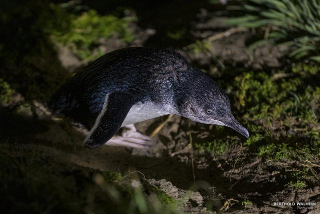 Zwergpinguin (Little Blue Penguin) Neuseeland