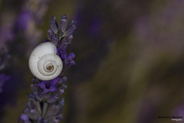 Schnecke auf Lavendelblüte
