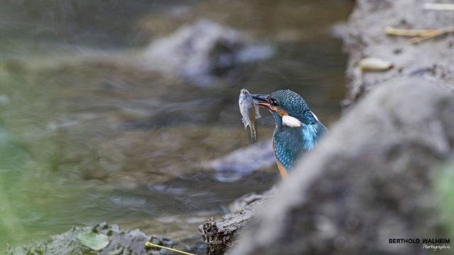 Eisvogel mit seiner Beute