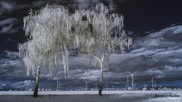 Weiße Birken