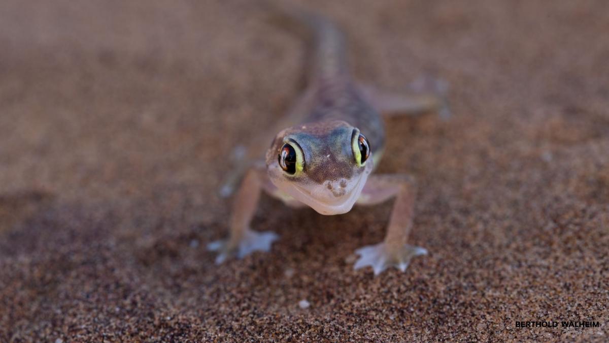Palmatogecko (Namibgecko), Namibia