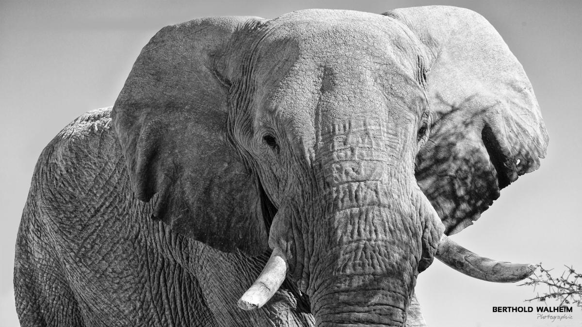 Elefant, Namibia