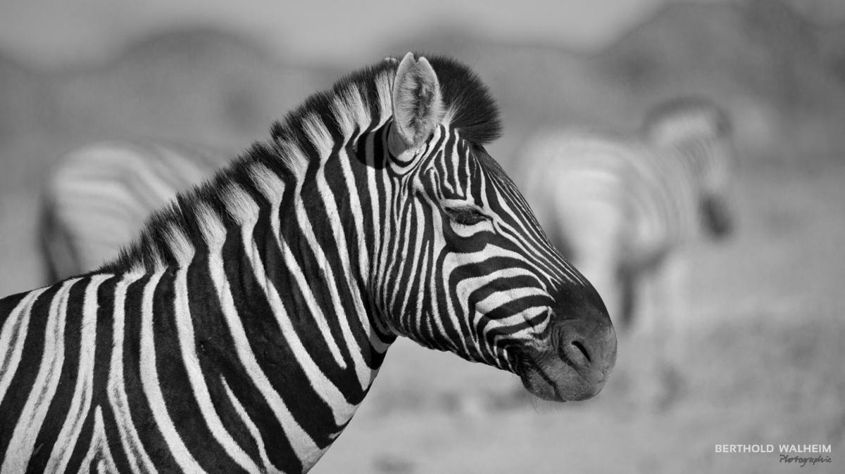 Zebra, Namibia